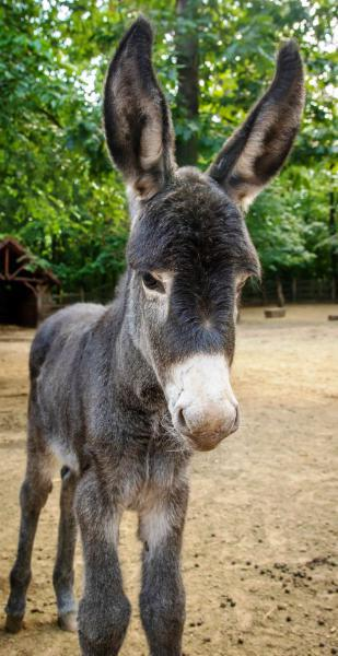 Botond, a nemrég született csacsi csikó a Debreceni Állatkertben