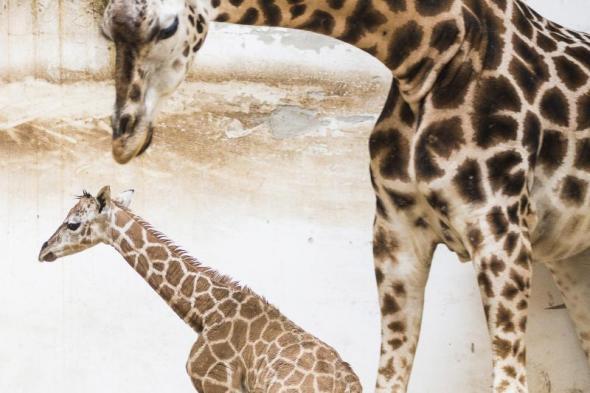 Zsiráf született november 2-án a Nyíregyházi Vadasparkban