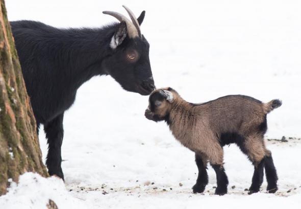 Kameruni törpekecske született a debreceni állatkertben