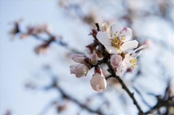 Virágzó mandulafa Pécsett