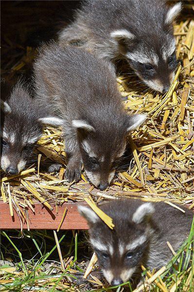 Mosómedve ikrek születtek a Debreceni Állatkertben. Bemutatójuk május közepén volt  Fotó: Czeglédi Zsolt (MTI)