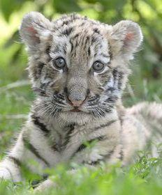 Szibériai tigriskölyök a debreceni állatkertben