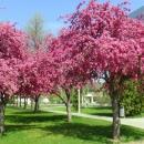 Virágzó vadalmafák