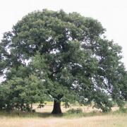 Az országban többfelé található Rákóczi fája