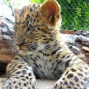Leopárd a debreceni állatkertben