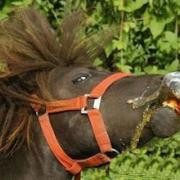 Söröző ló