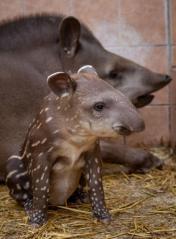 Tapírbébi született a Debreceni Állatkertben