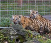 Dana és Dária a debreceni állatkertben már naponta látható