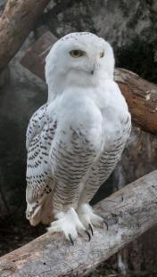 Hóbagoly a debreceni állatkertben