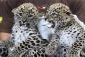 A jászberényi állatkert perzsa leopárd kölykei