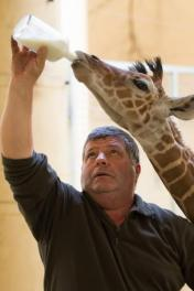 Kiszsiráf született a Debreceni Állatkertben