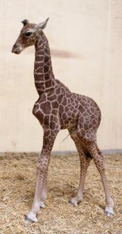Újabb kiszsiráf született a Debreceni Állatkertben